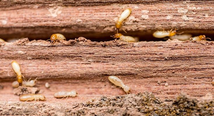 termites control cost